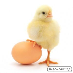 Виробництво Венгрия. Продаеться яйце інкубаційне та добові курчата