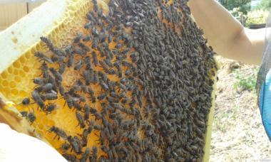 Продам 265 пчелопакетов карпатка