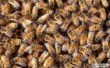 Пчелы (пчелопакеты, пчелосемьи) http://agrotorg.net Подробнее: http