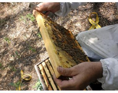 Подаю пчелосемьи карпатской породы