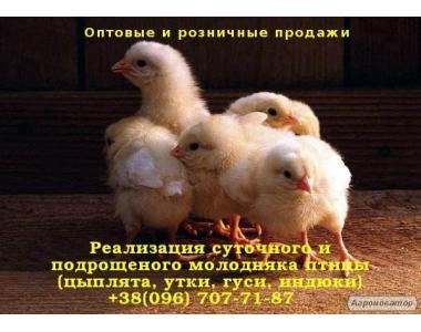 Суточные курчата разных пород: Редбро, Испанка, Мастер, Голошейка