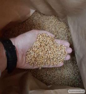 Продам семена канадской озимой пшеницы FARREL,MAKINO,MASON,TESLA