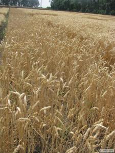Семена пшеницы озимой - сорт Подолянка. Элита и 1 репродукция