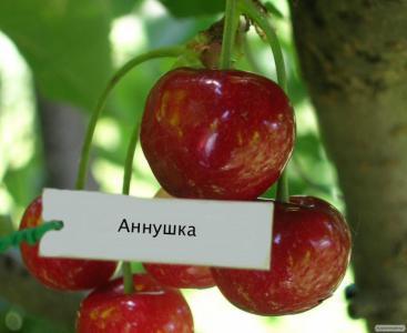 Саженцы черешни сорта Аннушка, от производителя