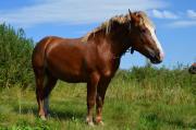 кінь Новоолександрівський племінний ваговоз