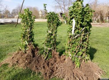 Выращивание саженцев под заказ, оптовые цены