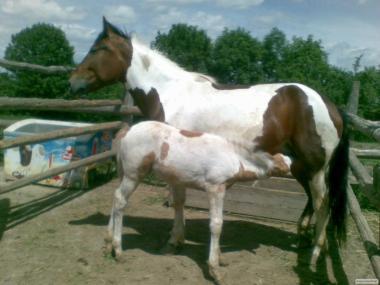 Продається кінь ( кобила).