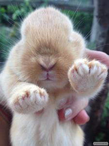 Кролики самці Бургундські, Фландр, Строкач і Бельгійський велетень