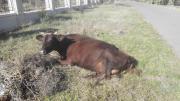 продам две коровы