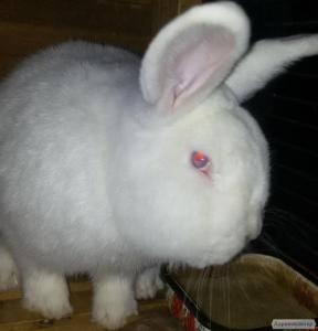 Продам чистопородних племінних кроликів НЗБ(Новозеландські Білі)