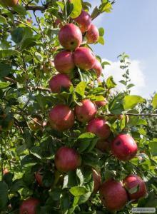 Продам яблука від 20 тонн. Власник (господар садів)
