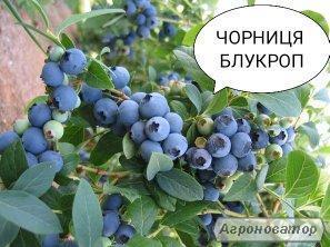 Черника Блукроп