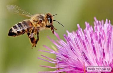 Продам пчелопакеты - КАРПАТКА!