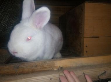 кролики нзк.. нзб.. калифы и полтавское серебро...