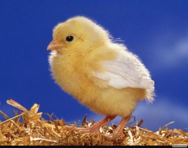 Яйця курині інкубаційні, опт/розница, Мироновка