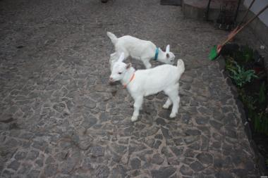 Продам зааненские козлята