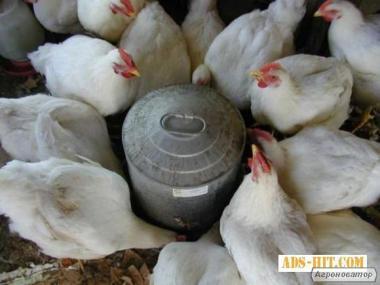 Продаем подрощенных цыплят, бройлеров,уток КОББ 500 Киевская обл.