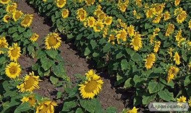 Гібрид соняшнику Український скоростиглий