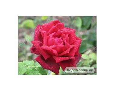 Троянди штамбові