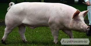 Продам свиней мясной породы 95-110 кг