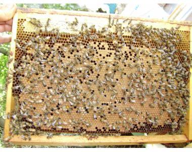 Продам пчелопакеты. Карпатка/Бакфаст/Кордован.