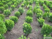 самшит вічнозелений дешевий, але якісний