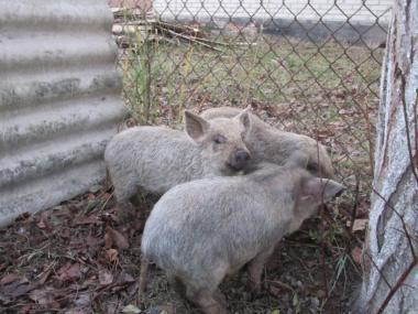 Продам поросят породи свині беконні