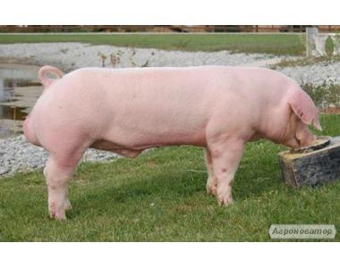 Куплю свині у живій вазі м'ясного типу