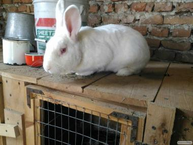 Продаются кролики породы Термонци бельгийская линия,также есть Боргунци..