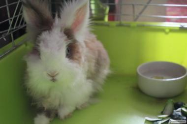 Кролик-милаха породистый торчеухий декоративный 1,5 года с клеткой