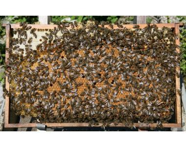 продам бджіл, бджолопакети, 20 сімей карпатка