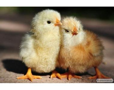 Курчата підрощені та добові Foxy Chick (Фоксі Чік)