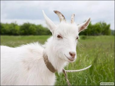 Продам козу котной