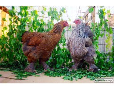 Цыплята БРАМА и кролики СТРОКАЧИ