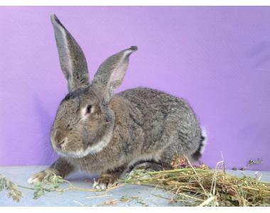 Продам кроликов Бельгийский Великан и Полтавское Серебро