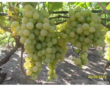 Саженцы винограда сорт Деметра