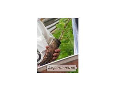 Саджанці винограду сорт Деметра