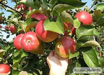 Продаємо смачні яблука власного виробництва. Вінницька область.