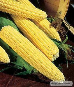 Продам суперсладкую кукурудзу Трофі в качанах.