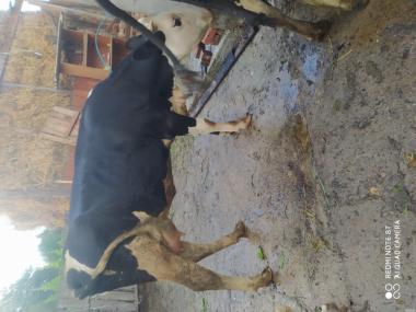 Продам три дойные коровы