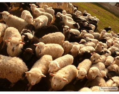 Продам вівці Карпатської породи