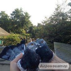 Продаю голубей летные старой херсонской породы.