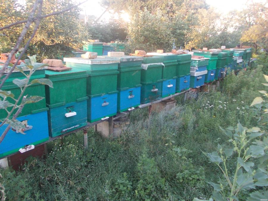сушь пчелиная