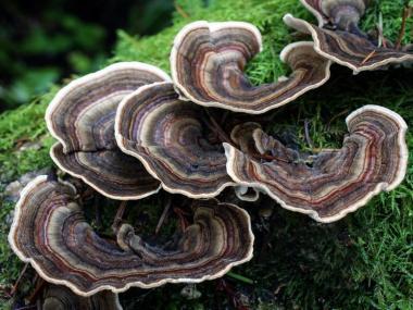 Мицелий Трутовика многоцветного / Каваратаке (Trametes versicolor)