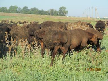 Продам гиссарских курдючних баранов – валахів жирних