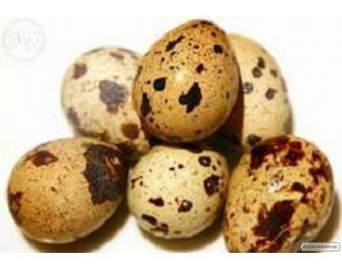 Инкубационные яйца перепелов белый Техасский бройлер