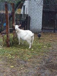 срочно продам козу