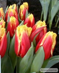 Зрізка тюльпана на 8 березня
