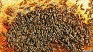 Продам пчелосемьи Канев
