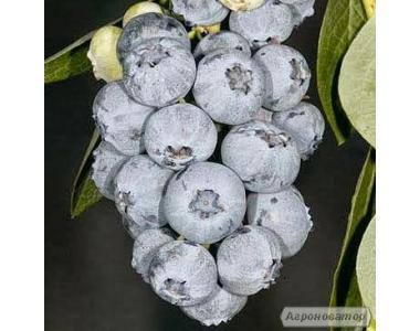 Саджанці лохини Блюголд (Bluegold) 1-річні